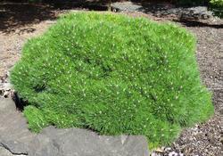 Borovice černá 'Bambino' - Pinus nigra 'Bambino'        - 1