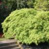Javor dlanitolistý 'Dissectum' - Acer palmatum                     - 1/2