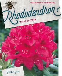 Rododendron (T) 'Nova Zembla' – Rhododendron (T) 'Nova Zembla' - 1