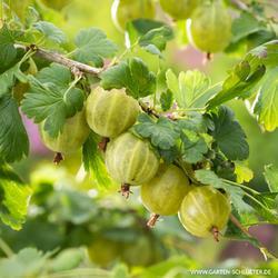 Angrešt bílý 'Tatjana' - Ribes uva-crispa 'Tatjana'