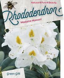 Rododendron (T) 'Madame Masson' - Rhododendron (T) 'Madame Masson' - 1