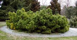 Borovice černá 'Hornibrookiana' - Pinus nigra 'Hornibrookiana'     - 1
