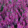 Vřes obecný 'Aphrodite' - Calluna vulgaris 'Aphrodite'               - 1/2