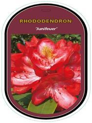 Rododendron (T) 'Junifeuer' – Rhododendron (T) 'Junifeuer'