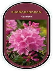 Rododendron (T) 'Graziella' - Rhododendron (T) 'Graziella' - 1