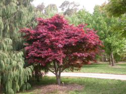 Javor dlanitolistý 'Atropurpureum' - Acer palmatum                    - 1