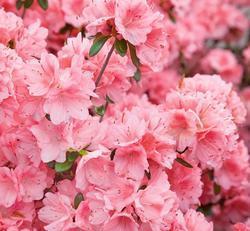Azalea (J) 'Blaauw's Pink' - Azalka (J) 'Blaauw's Pink'