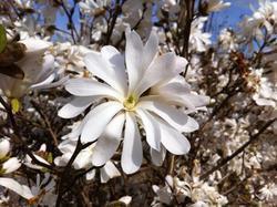 Šácholan hvězdokvětý 'Waterlily' - Magnolia stellata 'Waterlily'     - 1