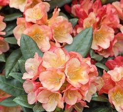 Rododendron 'Jingle Bells' – Rhododendron 'Jingle Bells'