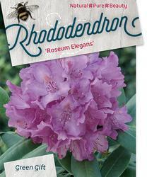 Rododendron 'Roseum Elegans' – Rhododendron 'Roseum Elegans' - 1