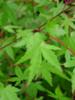 Javor dlanitolistý - Acer palmatum                    - 1/2