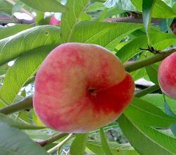 Broskvoň Suncrest - Prunus persica Suncrest