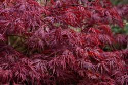 Javor dlanitolistý 'Dissectum Atropurpureum'- Acer palmat                 - 1