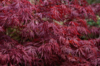 Javor dlanitolistý 'Dissectum Atropurpureum'- Acer palmat                 - 1/2
