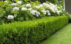Zimostráz vždyzelený - Buxus sempervirens (volné keře)