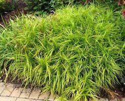 Ostřice palmová - Carex muskingumensis