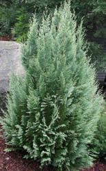 Cypřišek Lawsonův 'White Spot' - Chamaecyparis lawsoniana 'White Spot'  - 1