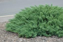Jalovec chvojka 'Tamariscifolia' - Juniperus sabina 'Tamariscifolia'            - 1