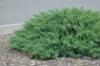 Jalovec chvojka 'Tamariscifolia' - Juniperus sabina 'Tamariscifolia'            - 1/2