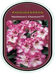 Rododendron (T) 'Hachmann's Charmant' ® - Rhododendron (T) 'Hachmann's Charmant' ® - 1
