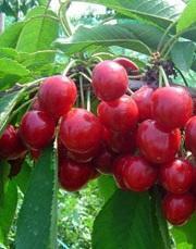 Třešeň Rivan - cizosprašná - Prunus Rivan prostokořenná