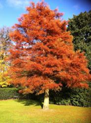 Metasekvoje čínská - Metasequoia glyptostroboides            - 1