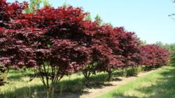 Javor dlanitolistý 'Fireglow' - Acer palmatum                     - 1