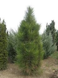 Borovice černá 'Fastigiata' - Pinus nigra 'Fastigiata'              - 1