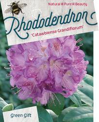 Rododendron (T) 'Catawbiense Grandiflorum'-Rhododendron (T) 'Catawbiense Grandiflorum' - 1