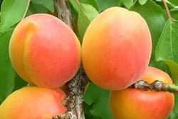 Meruňka Harcot - Prunus Harcot prostokořenná