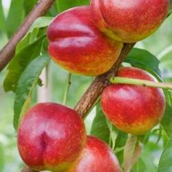 Nektarinka Harco - Prunus persica Harco