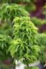 Javor dlanitolistý 'Crispifolium' - Acer palmatum                    - 1/2