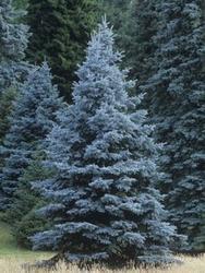 Smrk pichlavý 'Blue Diamond' - Picea pungens 'Blue Diamond'             - 1