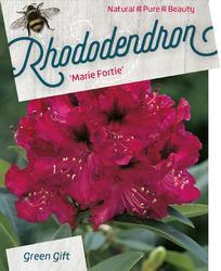 Rododendron (T) 'Marie Forte' – Rhododendron (T) 'Marie Forte' - 1