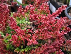 Vřes obecný 'Wickwar Flame' - Calluna vulgaris