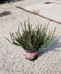Vřes obecný 'Zelia'- Calluna vulgaris 'Zelia'