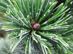 Borovice osinatá - Pinus aristata     - 1