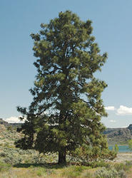 Borovice těžká - Pinus ponderosa                     - 1