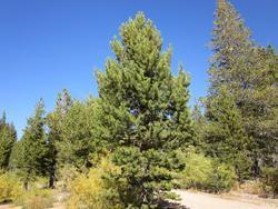 Borovice pokroucená - Pinus contorta        - 1