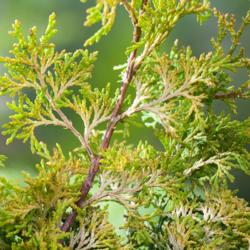 Cypřišek tupolistý 'Rashahiba' - Chamaecyparis obtusa 'Rashahiba'             - 1