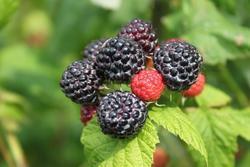 Maliník obecný 'Black Jewel' - Rubus idaeus 'Black Jewel'