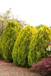 Zeravec východní 'Aurea Nana' - Platycladus (Thuja) orientalis 'Aurea Nana'        - 1