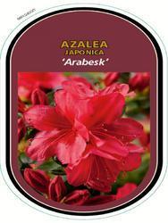Azalea (J) 'Arabesk' – Azalka (J) 'Arabesk'