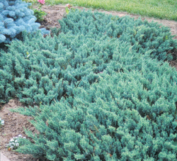 Jalovec polehlý 'Blue Chip' - Juniperus horizontalis 'Blue Chip'            - 1