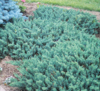 Jalovec polehlý 'Blue Chip' - Juniperus horizontalis 'Blue Chip'            - 1/2