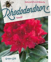 Rododendron (T) 'David'-Rhododendron (T) 'David'