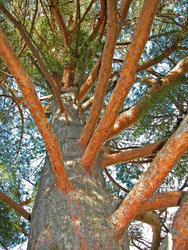 Borovice lesní - Pinus sylvestris                        - 1