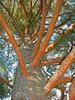 Borovice lesní - Pinus sylvestris                        - 1/3