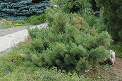 Borovice vejmutovka 'Macopin' - Pinus strobus 'Macopin'                 - 1