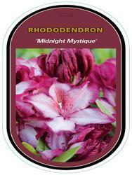 Rododendron 'Midnight Mystique' – Rhododendron 'Midnight Mystique'
